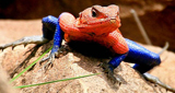 What a MARVEL! The blue and red lizard with a striking resemblance to comic book superhero Spiderman